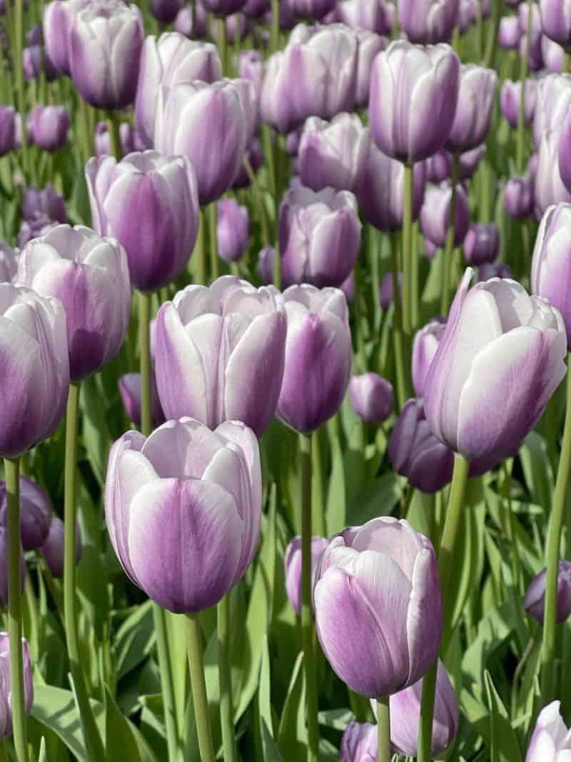 Pella Tulip Time 2021